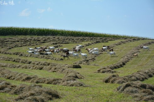 Goats in hayfield_6118w
