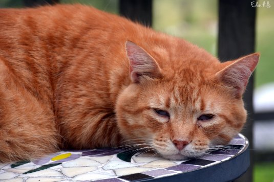 orange cat_6201ew