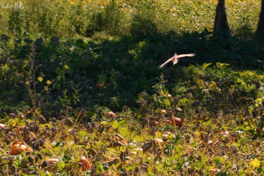 pheasant_6438ew