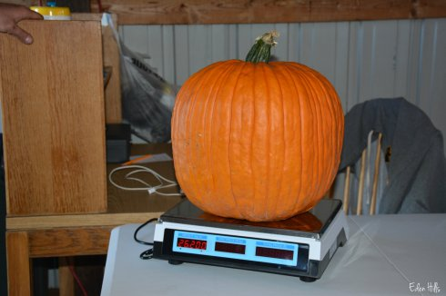 pumpkin on scales_6623w