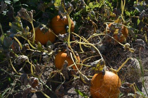 pumpkins_6288w