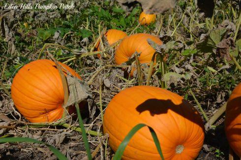 Pumpkins_6456ew