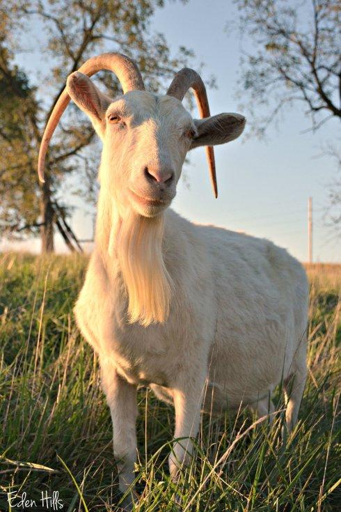 Saanen doe goat_6586ew