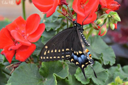 Swallowtail_6246ew