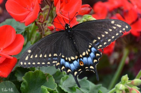 Swallowtail_6247ew