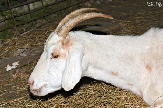 Doe Goat_6731ew