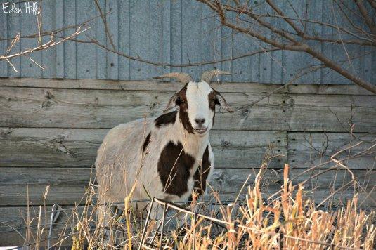 Goat_6963ew