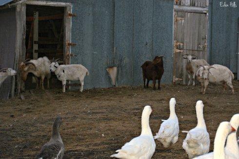 Goats_7136ew