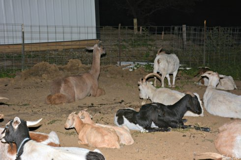 llama goats_6732ew