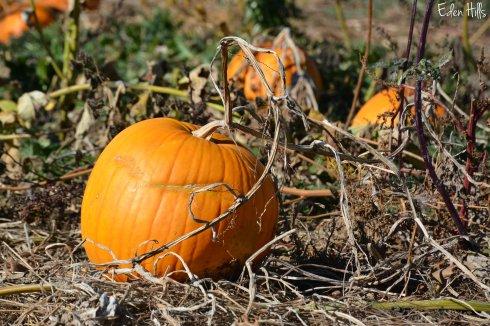 Pumpkin_7085aw