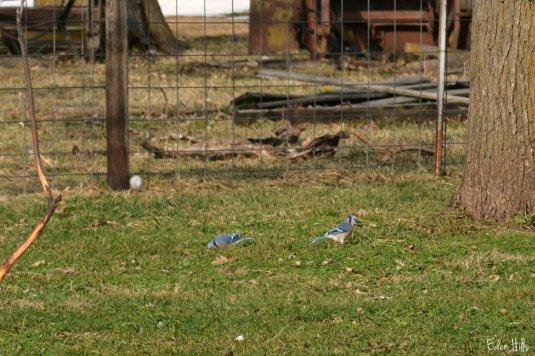 Blue Jays_7832ew