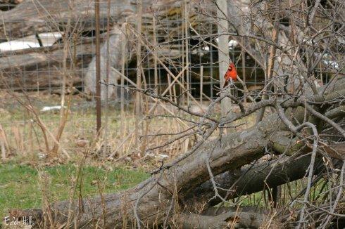 Cardinal_7805ew