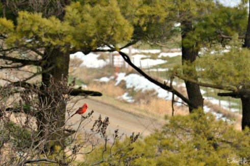 Cardinal_7815ew