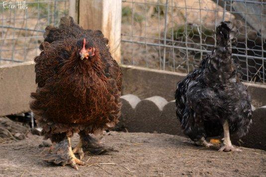 Chickens_7917ew
