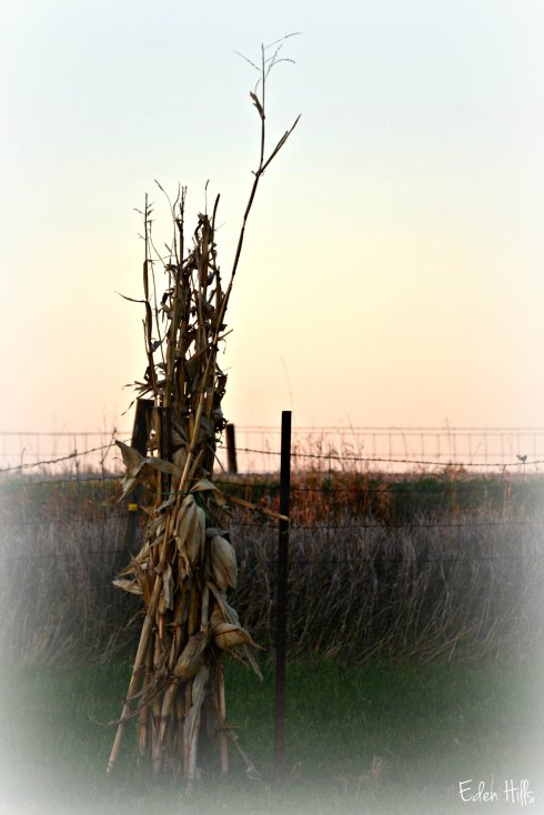 corn_7286ew
