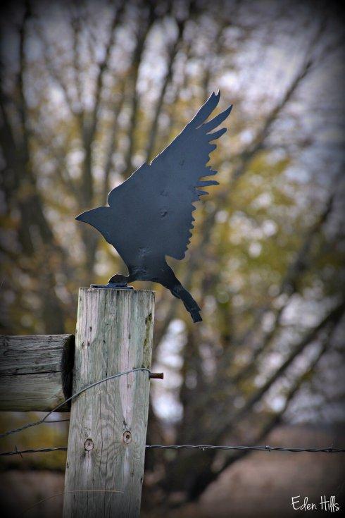 Crow_7156ew