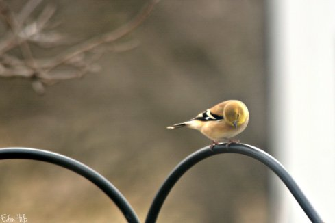 goldfinch_7971ew