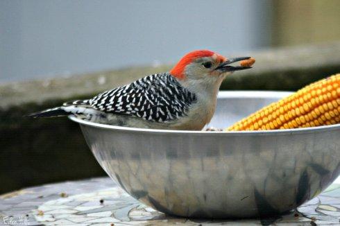 Red Bellied Woodpecker_8116ew