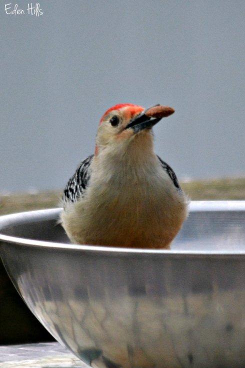 Red bellied woodpecker_8121ew