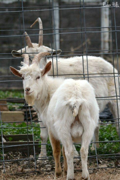 Saanen Goats_8374ew