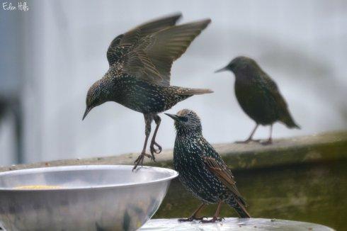 Starlings_8344ew