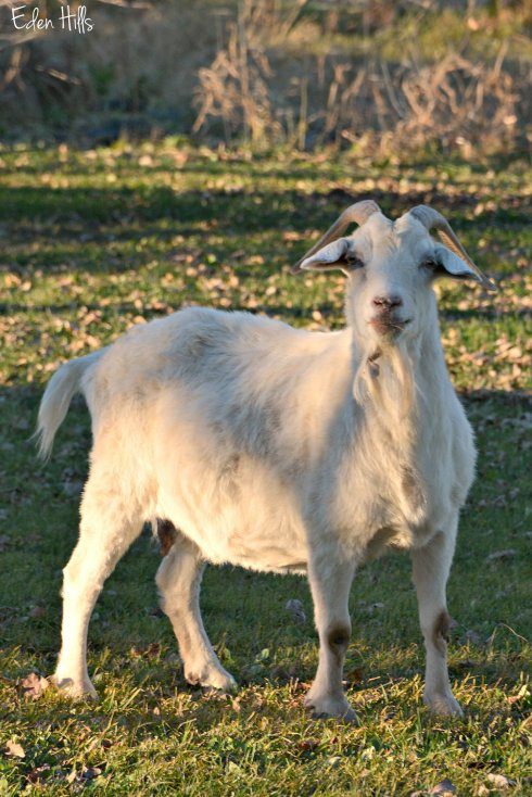 White Doe Goat_7580ew
