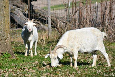 Yard Goats_7571ew