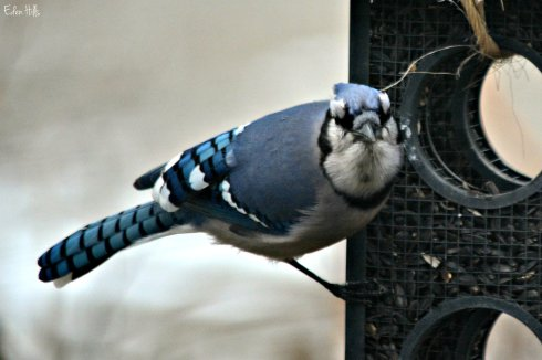 blue jay_9231ew