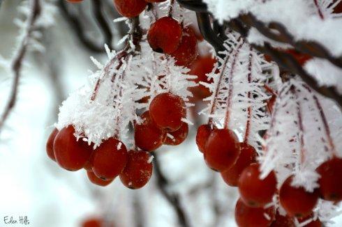 Crabapple frost_9145ew