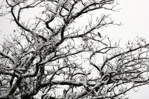 Dove in tree_9152ew