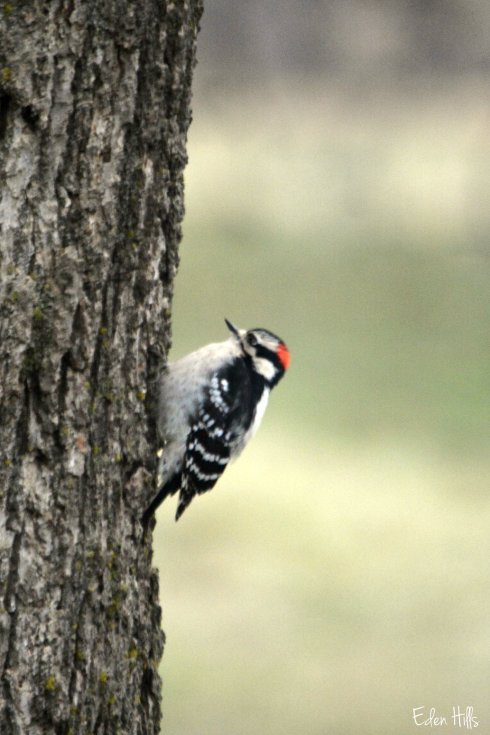downy woodpecker_8402ew