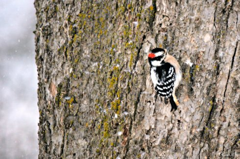 Downy Woodpecker_9319ew