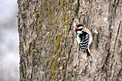 Downy Woodpecker_9319ew