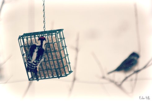 downy woodpecker (and sparrow)