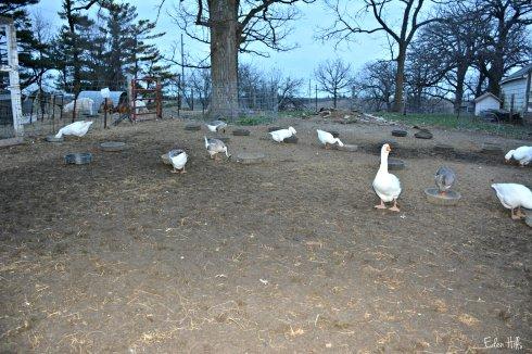 geese_8592ew