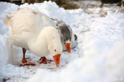 Geese_9479ew