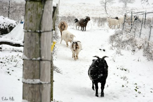 goats in snow_9108ew