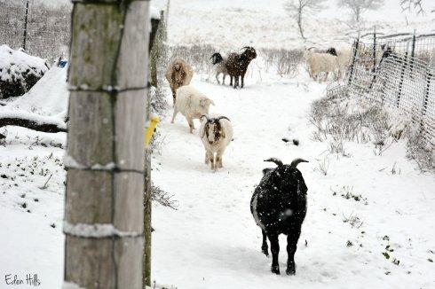 goats in snow_9108ew