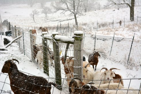 goats in snow_9122ew