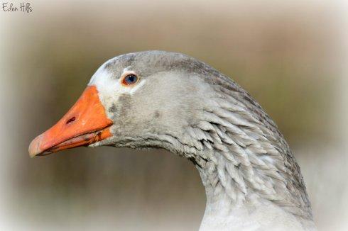 Goose_8765e2w