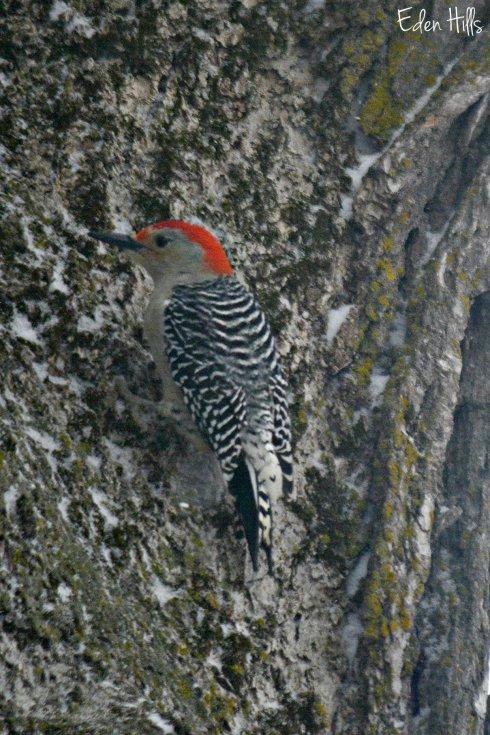 Red bellied woodpecker_9320ew