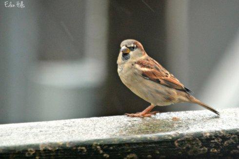 sparrow_8406ew
