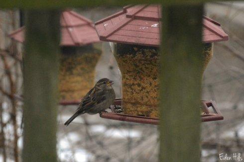 sparrow_9178ew