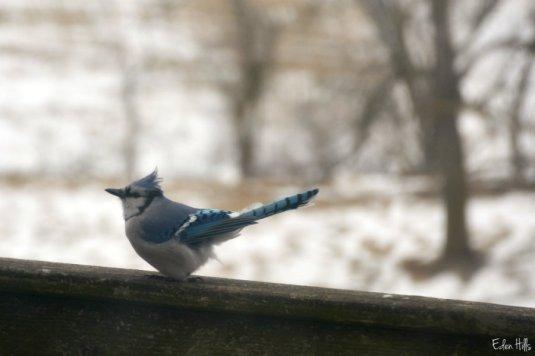 Blue Jay_0285ews