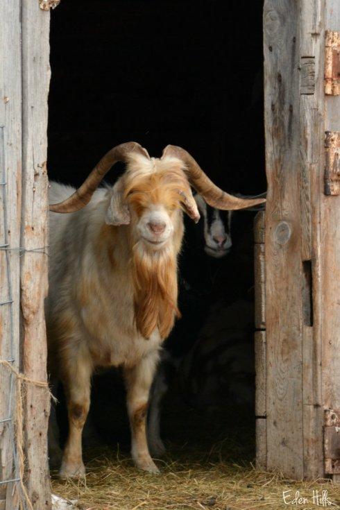 Buck goat_9784ew