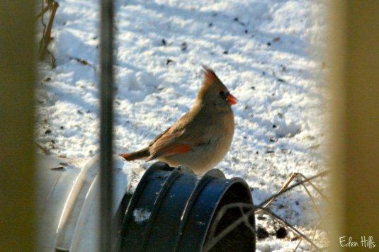 cardinal female_9640ews