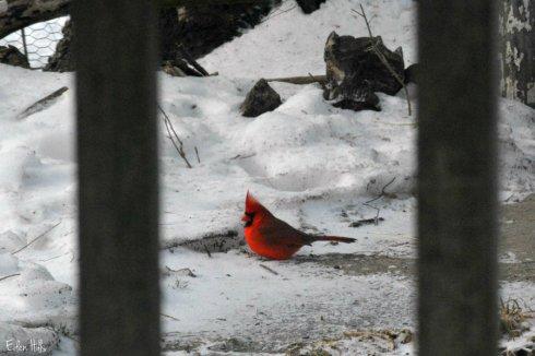 cardinal_0040ews