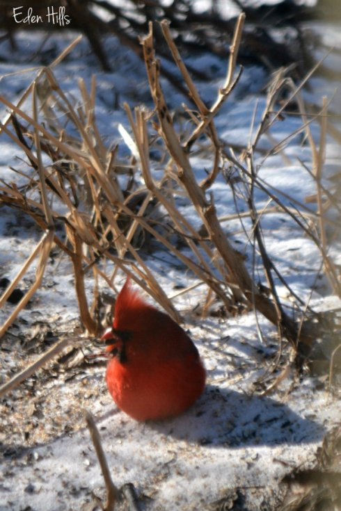 cardinal_0344ews