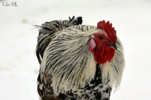 Chicken_0624ews