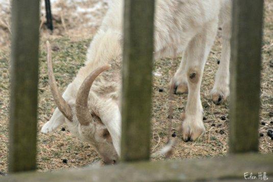 Doe goat_0294ews